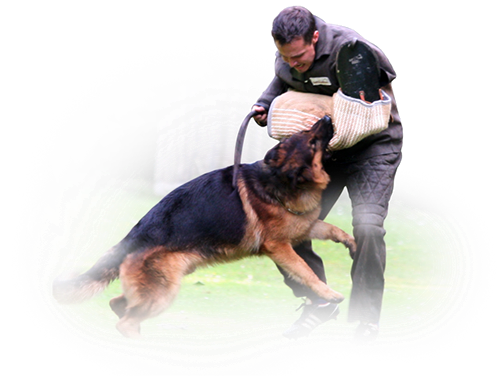protection dog, protection work, bite work, german shepherd protection, schutzhund, protection dogs michigan, protection german shepherds CA