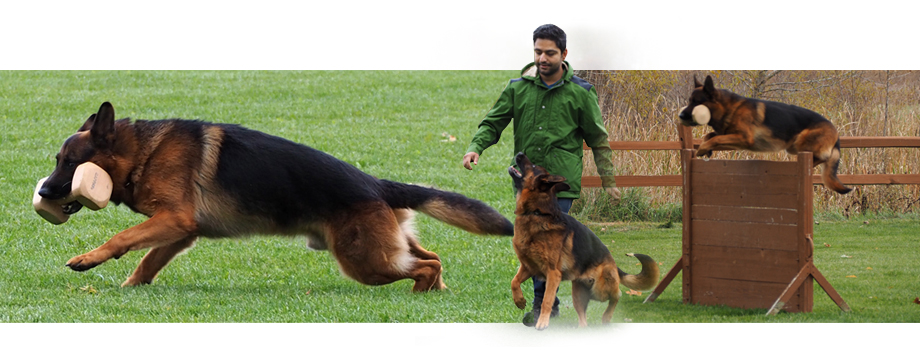 german shepherd training, german shepherd heeling, dog training, dog trainers, heeling, off leash heeling, obedience, schutzhund